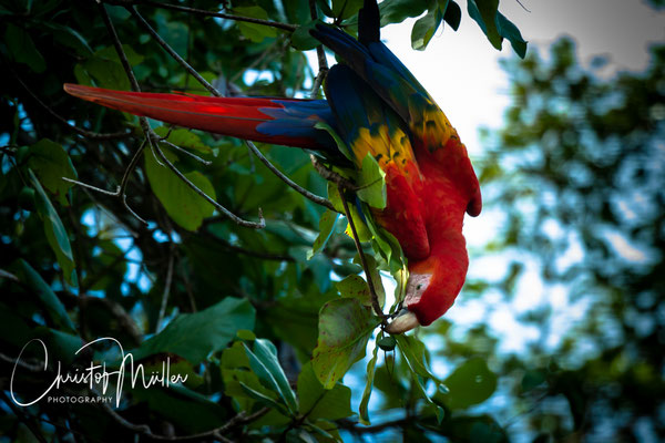 Scarlet Macaw (Ara macao cyanoptera) feeding on almonds in Osa Peninsula.