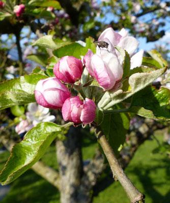 Der Apfelbaum trotzt noch den kalten Temperaturen, die Blüte ist noch da...