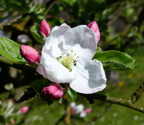 auch die Apfelblüte hat begonnen