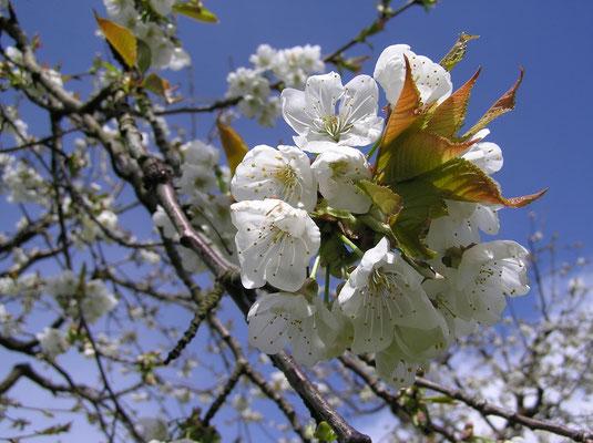 Kirschbaumblüte, immer wieder ein Ereignis