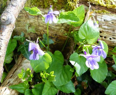 überall blühen die Veilchen