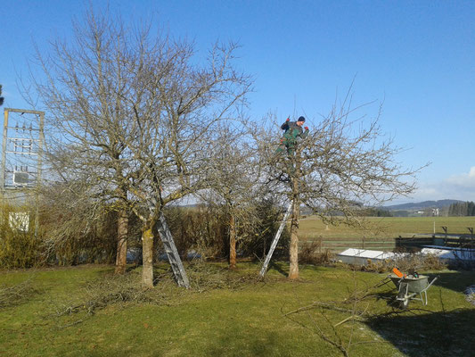 Obstbäume ungeschnitten