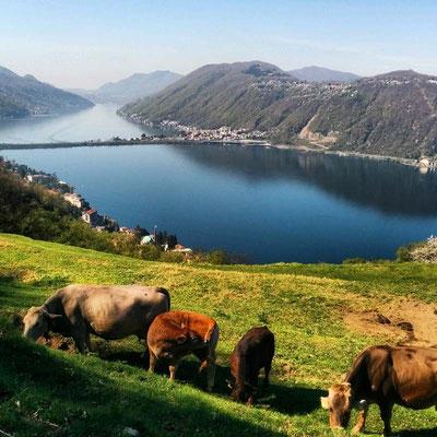 Mucche al pascolo  a Pugerna e vista  sul ponte di Melide