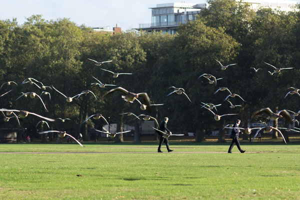 geese at Hyde Park