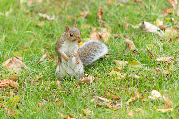 grey squirrel at Hyde Park