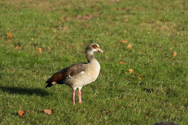 goose at Hyde Park