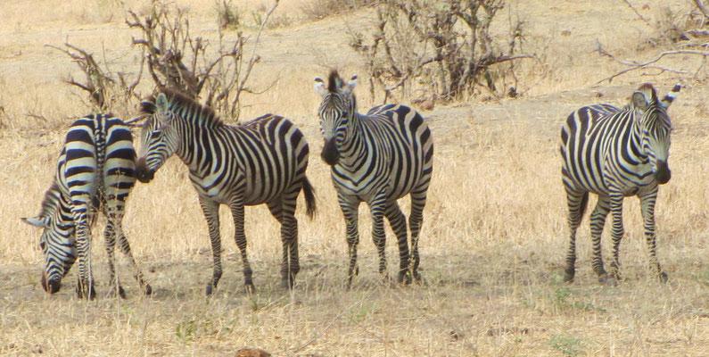 They saw Zebras ...