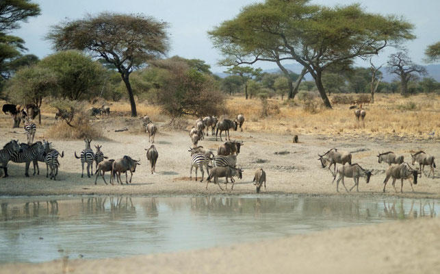 During the dry season a lot different animals meet at the water holes.