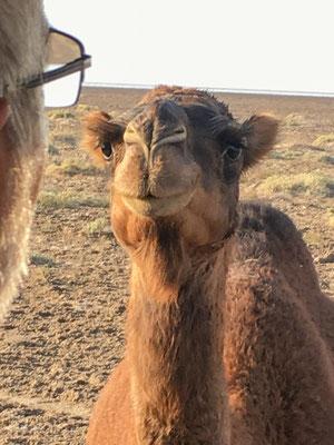 Neugieriges Kamel