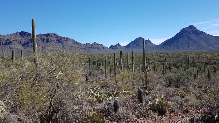 Saguaro NP in Tucson/Arizona