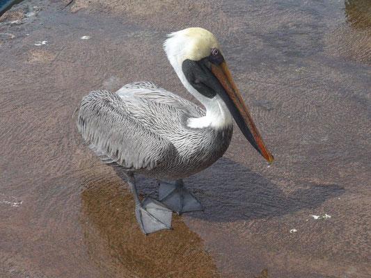 Pelikan wartet auf Abfälle