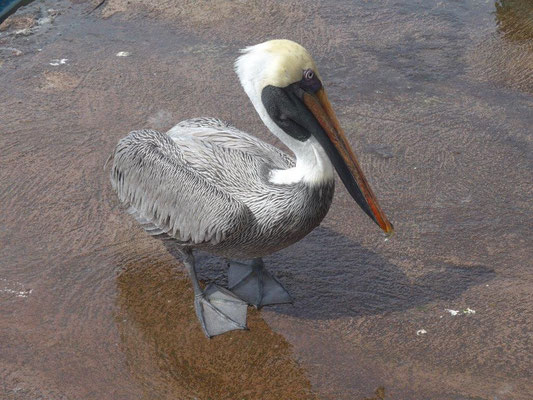 Pelican waits for food