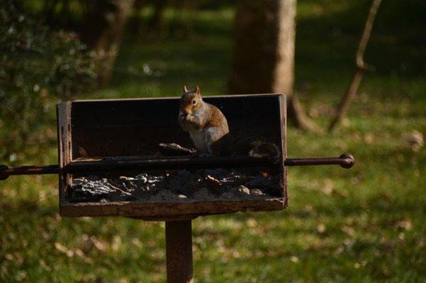 Vorwitziges Eichhörnchen