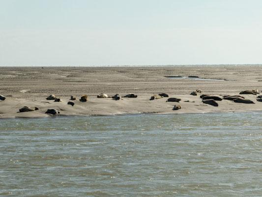 Berck-sur-mer - Robbenkolonie