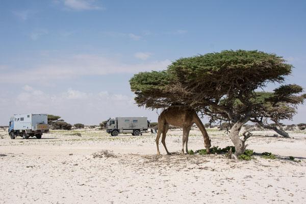 Kamelbesuch zum Frühstück / Camel visit for breakfast