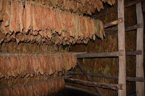 Tabak wird getrocknet