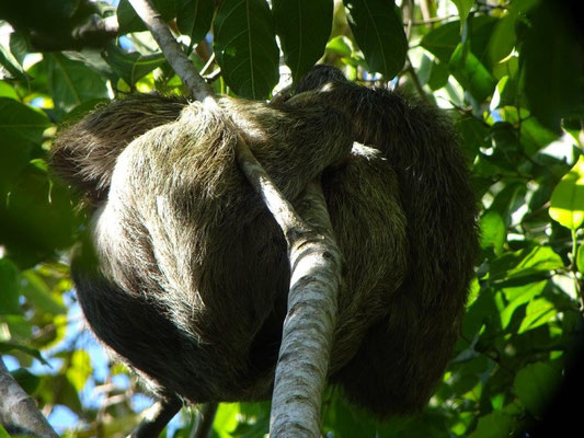 Sloth in Manuel Antonio Nationalpark