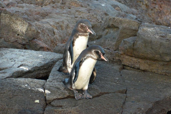 Galapagos Pinguine, Sullivan Bay