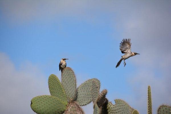 Kaktusfinken