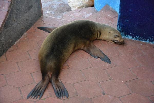 Seelöwe wartet auf Abfälle am Fischmarkt