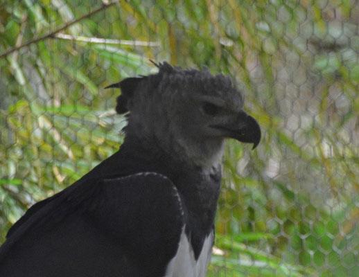 Belize Zoo, Harpy Eagle