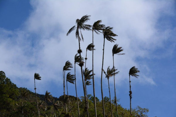 Wax palms at the Valle de Cocora
