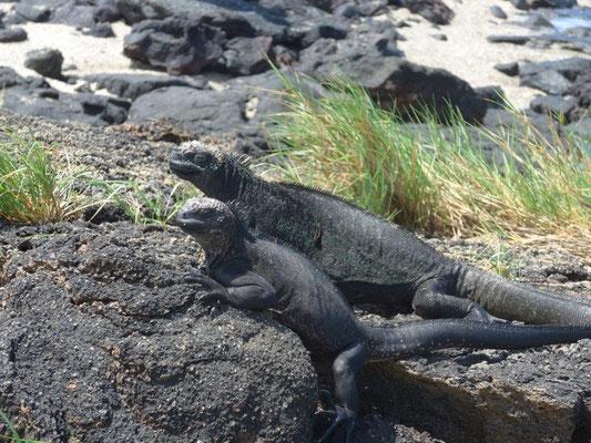 water iguanas