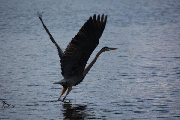 starting heron