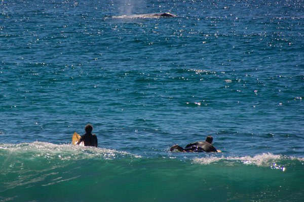 whale togehther with surfers