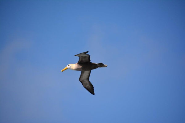 Albatros im Flug, 2m Spannweite