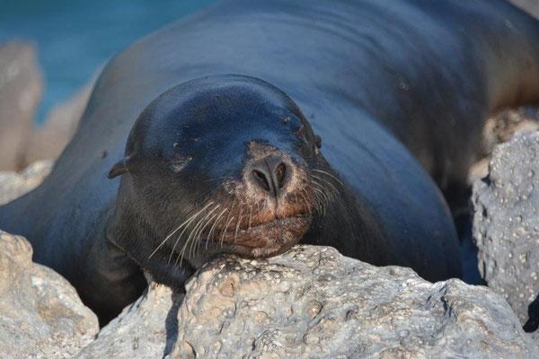 Seelöwe erschöpft vom Klettern