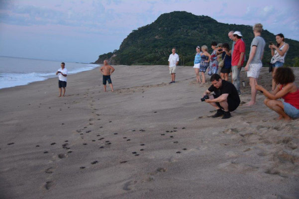 Hatched turtles are released to the water