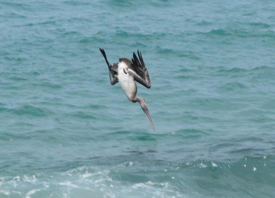 Pelikan im Sturzflug auf Fischfang
