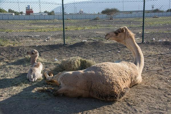 Kamelmarkt in Al Ain - 1 Tag altes Jungtier