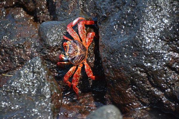 Klippen Krabbe