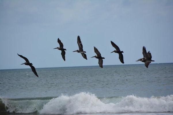 Pelikane auf Beutejagd