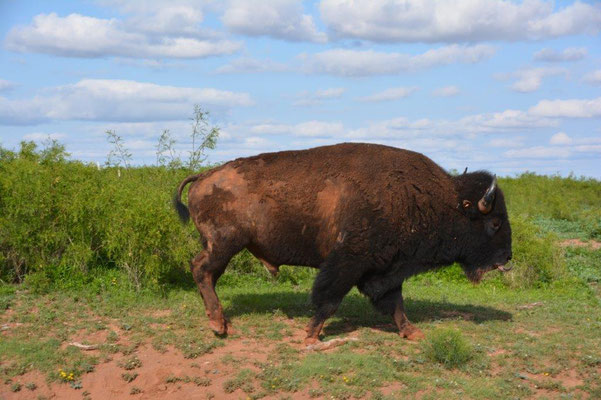 Caprock Canyon, Bison