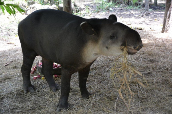Belize Zoo, Tapir