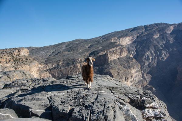 Bergziege / mountain goat