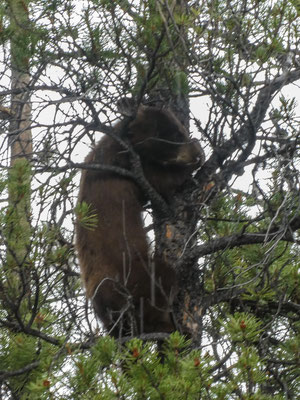 Bear on the roadside - Cub must hide on a tree