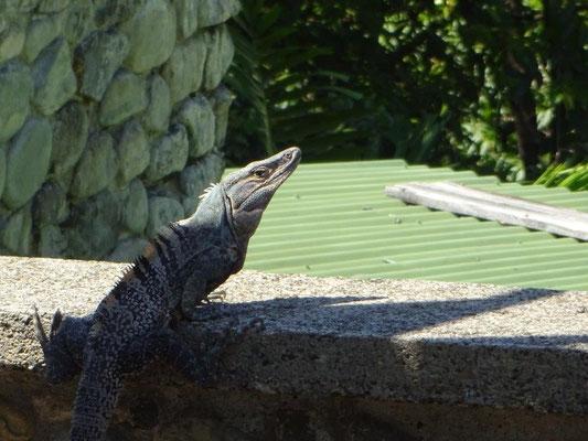 Leguane laufen einem fast über dir Füße