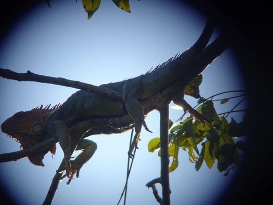 Leguan im Manuel Antonio Nationalpark mit dem Super Tele fotografiert