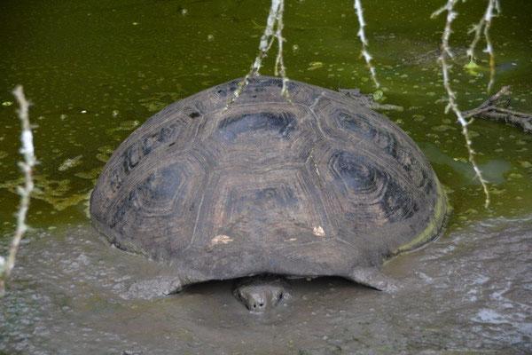 Riesenschildkröte fühlt sich wohl