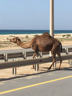 Kamel auf der Autobahn / Camel on the highway