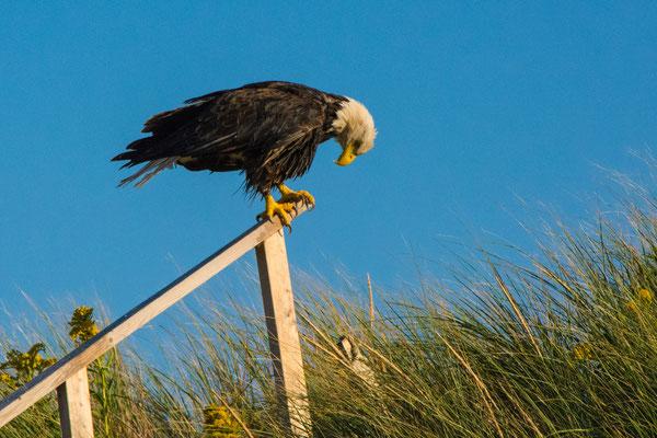 Prince Edward Island, Weißkopfadler wartet auf Beute