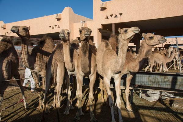 Kamelmarkt in Al Ain