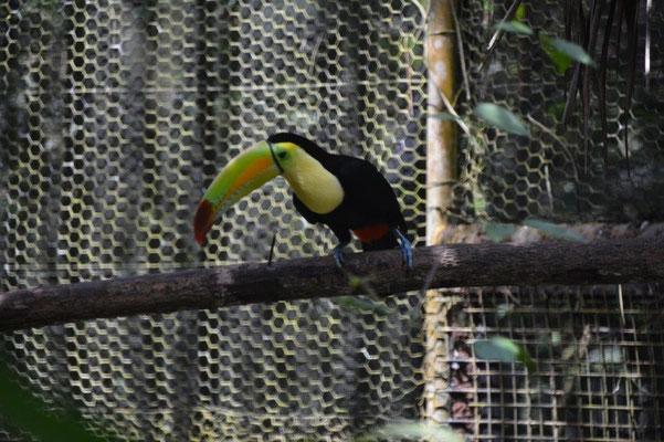 Belize Zoo, Tucan