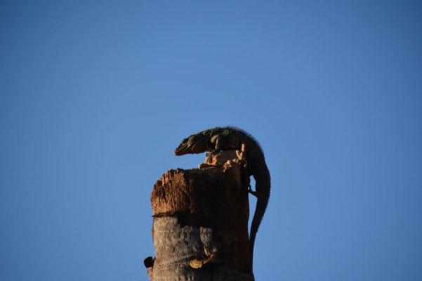 Leguan will hoch hinaus