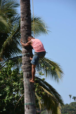 Coconut picking is a dangerous job