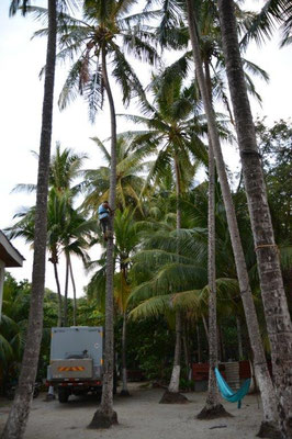 He is cutting the coconuts. Otherwise it may damage my solar panels.